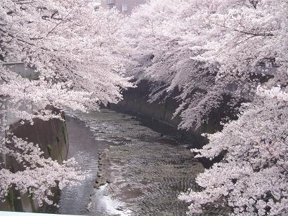 桜のお花見で東京ではランキング外!でも必見の神田川!驚きの絶景