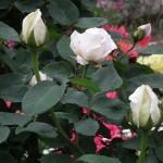 神代植物園のバラの開花状況と、バスを使ったアクセスでおすすめは!