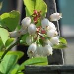 ブルーベリーの育て方 鉢植えの実の付け方と品種と土、4つのポイント