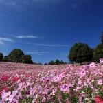 昭和記念公園のコスモスの見頃と種類に場所は!入り口や駐車場はどこ!
