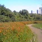 浜離宮恩賜庭園のコスモスの開花状況とアクセス方法!水上バスも可