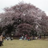 新宿御苑の花見が子連れに向く7つの理由!桜の種類と開花にも関係がある