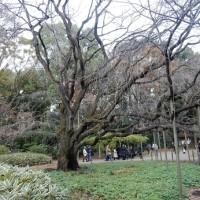 六義園のしだれ桜の開花状況と混み具合は!ライトアップで並ばないで入園は!