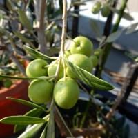 オリーブの実 塩漬けの収穫時期とタイミング!利用法は色が目安