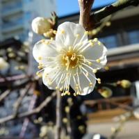 湯島天神の梅まつりと開花状況 画像で見頃予想!くまモンも参加