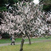 浜離宮の梅の開花状況と見頃は!桜の花のライトアップはある?