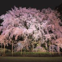 六義園のしだれ桜の見頃とライトアップ期間2017!開花予想で注意が!