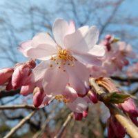 六義園と小石川後楽園のしだれ桜2017 現在の開花状況と見頃の予想