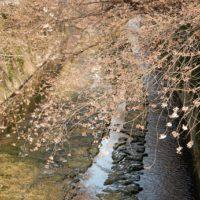 神田川の桜の名所と開花状況2017!都心の渓谷に鯉も花に酔う