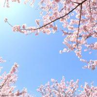 小石川後楽園のしだれ桜の開花と見頃!アクセス方法は