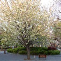緑色の桜、御衣黄が見られる東京の新名所23区内で発見!めちゃキレイ!