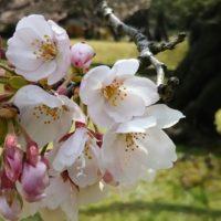 浜離宮の桜の開花と撮影スポットは!水上バスに乗って隅田川の花見へ