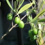 オリーブの育て方と実が良く付く方法!品種の選び方と組み合わせ!